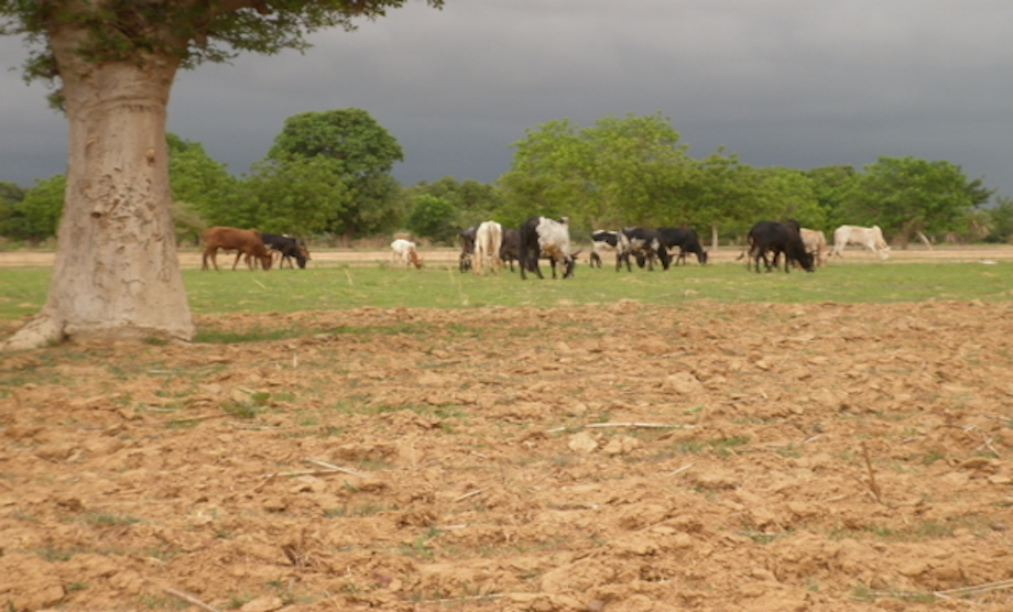 Farmer-herder conflicts in Agogo, Ghana